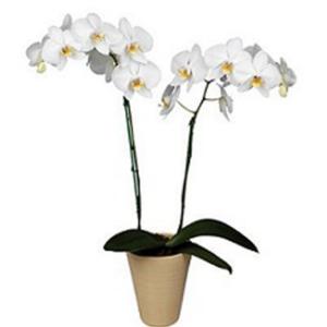 Maceta de orquídeas phalaenopsis blancas